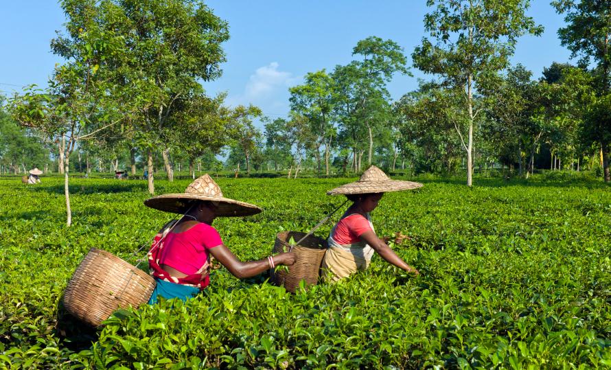 Tata-Global-Beverages-Typhoo-Tesco-Ethical-Tea-Partnership