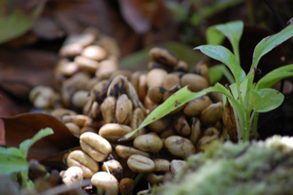 Most Authentically Rare Coffee in the World Is Available in the U.S.