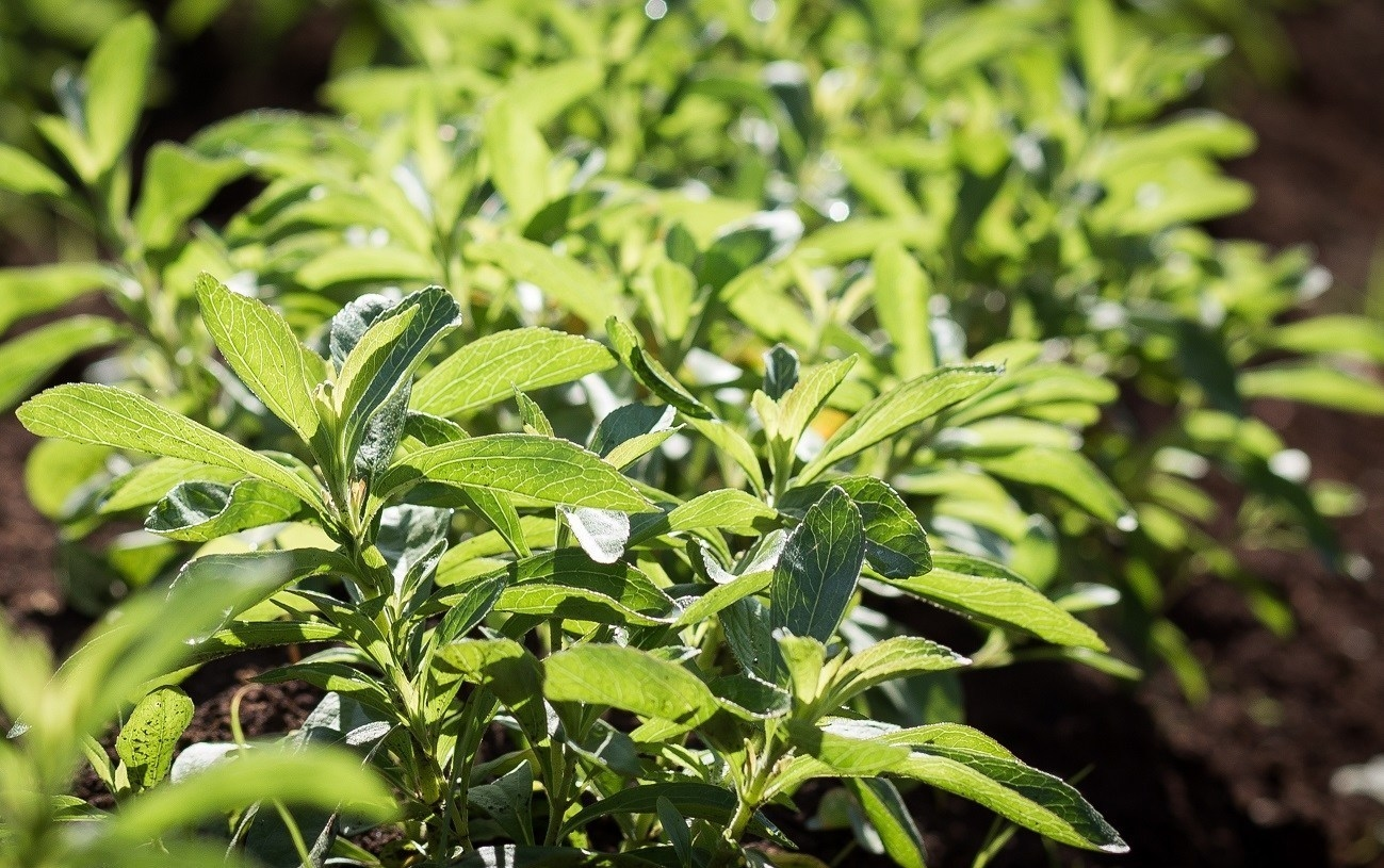New Research Supports Stevia's Naturality