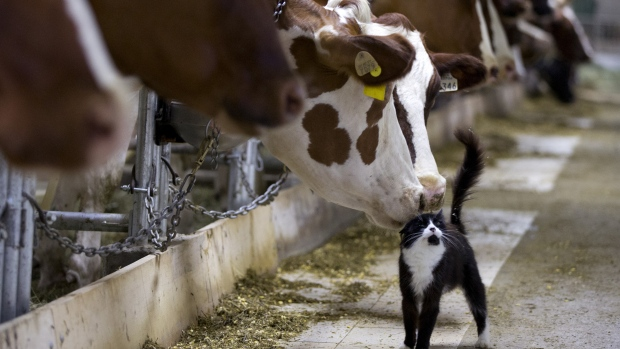 The U.S. Dairy Sector Is In A Urge To Discuss Canada's Protectionist Milk Pricing Policy